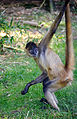 Spider Monkey Stretched (6251624427).jpg