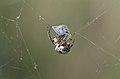 Spider and prey (34874050392).jpg