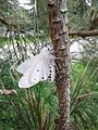 Spilosoma vestalis, the Vestal tiger-moth in profile.jpg