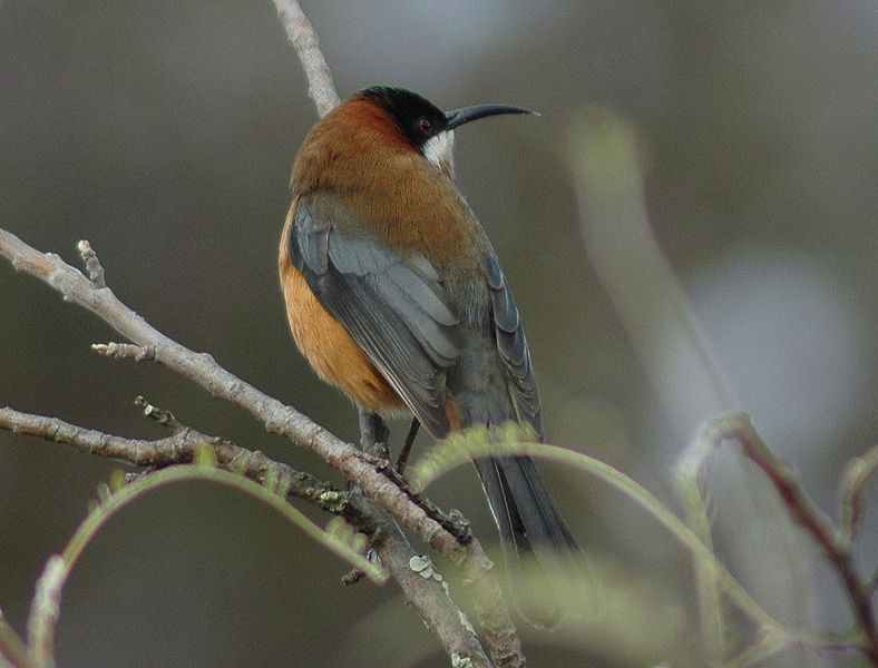 File:Spinebill1.jpg