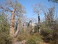 Spiny forest 1, Ifaty, Madagascar.jpg