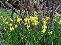 Spring daffodils, Omagh - geograph.org.uk - 733468.jpg