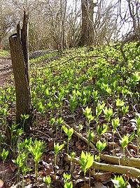 M. perennis, skogsbingel på våren