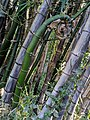 Sprout of bamboo like Golden spiral in contrast to expired dry bamboos portrait.jpg