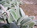 Stachys lanata 01.jpg