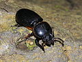 Stag beetle indet. (Lucanidae) from Ambon, Maluku (8688997006).jpg