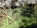 Starr-020221-0039-Erigeron karvinskianus-habit mat in gulch-Polipoli-Maui (24546620475).jpg