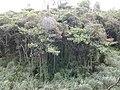 Starr-020620-0074-Clusia rosea-mature habit-Kapalua-Maui (24523787786).jpg