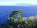 Starr-021108-0030-Nicotiana glauca-with Maui beyond-Molokini-Maui (24470829851).jpg