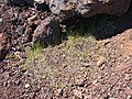 Starr-090504-7225-Poa pratensis-habit-Science City-Maui (24836190162).jpg