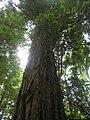 Starr-090521-9235-Sequoia sempervirens-large tree-Polipoli-Maui (24326056324).jpg