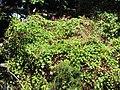Starr-090610-0470-Antigonon leptopus-flowering habit-Haiku-Maui (24596007249).jpg
