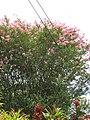 Starr-090623-1423-Lagerstroemia indica-flowering habit-Nahiku-Maui (24848502072).jpg