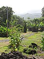 Starr-090623-1725-Nicotiana tabacum-flowering habit-Hana-Maui (24967235615).jpg