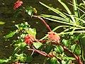 Starr-110307-2021-Impatiens walleriana-flowers-Kula Botanical Garden-Maui (25051083016).jpg