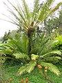 Starr-110307-2527-Cycas circinalis-habit-Kula Botanical Garden-Maui (24451378213).jpg