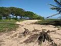 Starr-110312-6458-Thespesia populnea-after tsunami-Kanaha Beach-Maui (24452891373).jpg