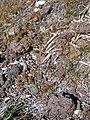 Starr-110515-6578-Bromus diandrus-habit-Science City-Maui (24468388213).jpg