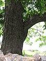 Starr-110601-6047-Carya illinoinensis-trunk and bark-Keokea-Maui (24728948519).jpg