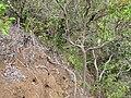 Starr-120425-4839-Dianella sandwicensis-form multipedicellata under canopy-Waikapu Valley-Maui (25113417546).jpg