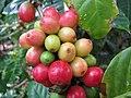 Starr-121108-0688-Coffea arabica-Dwarf Philippine fruit-Pali o Waipio-Maui (25195866805).jpg
