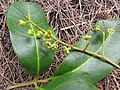Starr-130319-3159-Cupaniopsis anacardioides-flowers and leaves-Kilauea Pt NWR-Kauai (25208751905).jpg