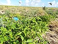 Starr-130915-1666-Solanum americanum-habit-Hardpan SW Inland-Laysan (24857809619).jpg
