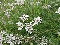 Starr-150323-0552-Coriandrum sativum-flowers-Hawea Pl Olinda-Maui (25239196706).jpg