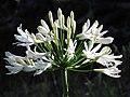 Starr-180903-5296-Agapanthus praecox subsp orientalis-white flowers-Hawea Pl Olinda-Maui (42836913750).jpg