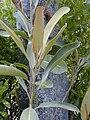 Starr 030222-0035 Pouteria sandwicensis.jpg