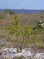 Starr 031108-2037 Dodonaea viscosa.jpg