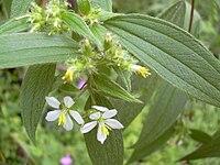 Starr 031118-0087 Tibouchina longifolia