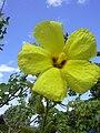 Starr 040318-0048 Hibiscus brackenridgei subsp. brackenridgei.jpg