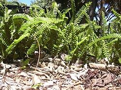 meaning of lomariopsidaceae