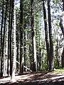 Starr 040812-0074 Araucaria columnaris.jpg