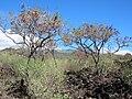 Starr 041223-2105 Leucaena leucocephala.jpg