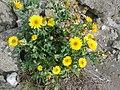 Starr 050225-4554 Reichardia picroides.jpg