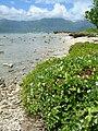Starr 050418-0218 Jacquemontia ovalifolia subsp. sandwicensis.jpg