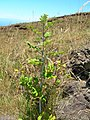 Starr 050817-3865 Rubus niveus f. a.jpg