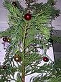 Starr 051204-8558 Cryptomeria japonica.jpg