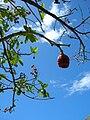 Starr 060922-9070 Fagraea berteroana.jpg
