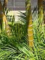 Starr 061206-1978 Chrysalidocarpus lutescens.jpg