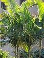 Starr 070124-3809 Chrysalidocarpus lutescens.jpg