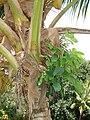 Starr 070321-5944 Schefflera actinophylla.jpg