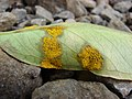 Starr 080326-3755 Syzygium jambos.jpg