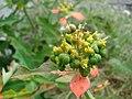 Starr 080601-5251 Euphorbia cyathophora.jpg