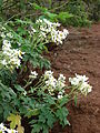 Starr 081230-0647 Montanoa hibiscifolia.jpg