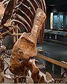 Stegosaurus stenops Scapulocoracoid.jpg