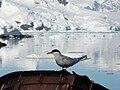 Sterna vittata - Antarctica I.jpg