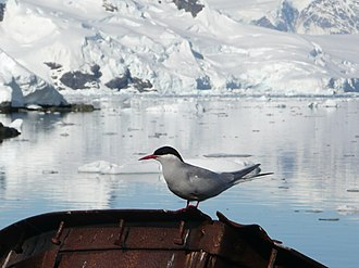 Antarctic tern - Image: Sterna vittata Antarctica I